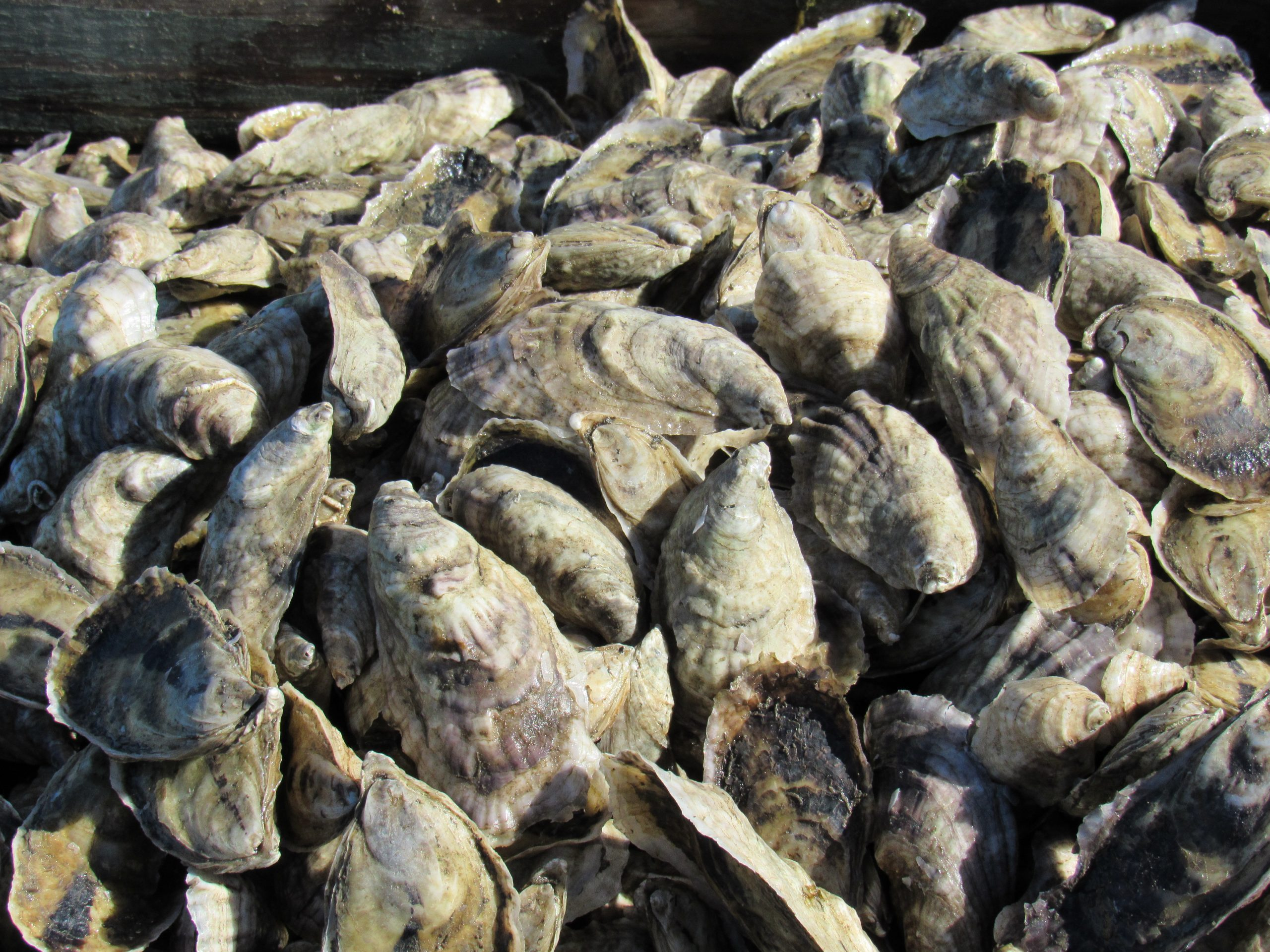 Sustainable oyster farming